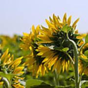 French Sunflowers Art Print