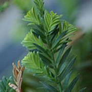 Fresh Growth Redwood Art Print