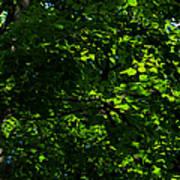 Fresh Linden Tree Foliage - Featured 2 Art Print