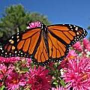 Fresh Monarch Butterfly Art Print