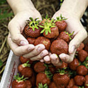 Fresh Picked Strawberries Art Print