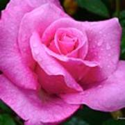 Fresh Sweet Surrender Rose Art Print