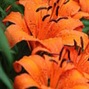 Freshly Showered Tiger Lilys Art Print
