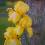 Friendly Yellow Irises Art Print