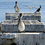 Pelican Friends Art Print