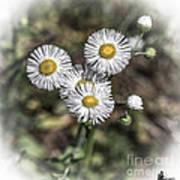 Fringed Daisy Art Print