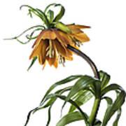 Fritillaria Imperialis Art Print