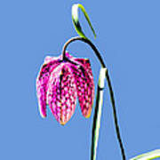 Fritillaria Meleagris - Leif Sohlman Art Print