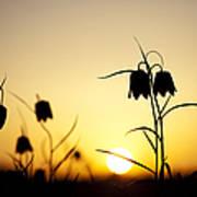 Fritillary Flower Sunset Art Print by Tim Gainey