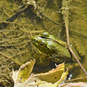 Frog Thinks He's Hidden Under A Twig Art Print