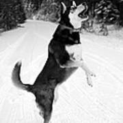 Frolicking In The Snow - Black And White Art Print by Carol Groenen
