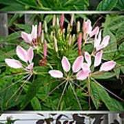 From Bud To Bloom - Cleome Named Pink Queen Art Print