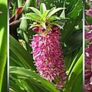 From Bud To Bloom - Eucomis Named Leia Art Print