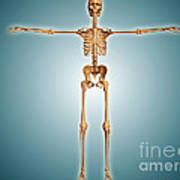 Front View Of Human Skeletal System Art Print