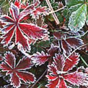 Frost On Wild Strawberry Art Print