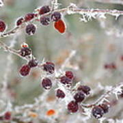 Frosted Berries Art Print