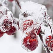 Frozen Crab Apples On Snowy Branch Art Print