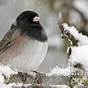 Frozen Junco Art Print