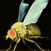 Fruit Fly Sem Art Print