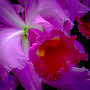 Fuchsia Cattleya Orchid Squared Print by Julie Palencia