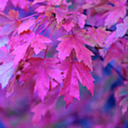 Full Frame Of Maple Leaves In Pink And Art Print