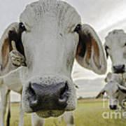 Funny Cows Art Print