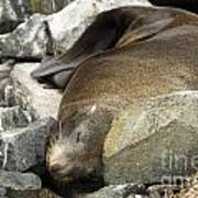 Fur Seal Art Print