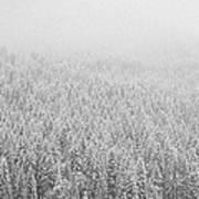 Fur Trees In The Snow Art Print