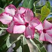 Fushia Oleander Near Phoenx Arizona 2 Art Print