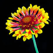 Gaillardia Arizona Sun Art Print