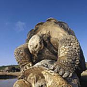Galapagos Giant Tortoise Mating Alcedo Art Print