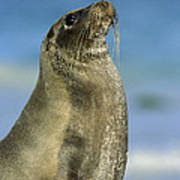 Galapagos Sea Lion Coral Beach Art Print