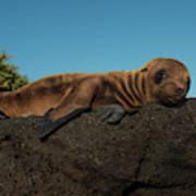 Galapagos Sea Lion Pup (zalophus Art Print