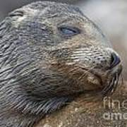 Galapagos Sea Lion Sleeping Art Print