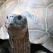 Galapagos Tortoise 1 Art Print