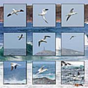 Gannets Galore Art Print