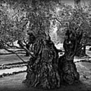 Garden Of Gethsemane Olive Tree Art Print