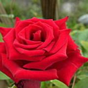 Garden Red Rose Art Print
