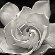 Gardenia Bloom In Sepia Art Print