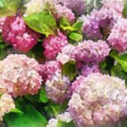 Gardens - Pink And Lavender Hydrangea Art Print