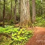 Garibaldi Wilderness Rainforest Art Print