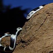 Garter Snake Genus Elapsoidea Art Print