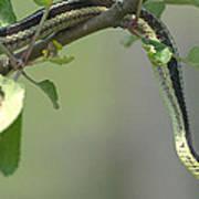 Garter Snake In Apple Tree Art Print