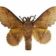 Gastropacha Quercifolia Moth Art Print
