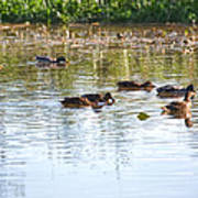 Gathering - Mallars Ducks In Creek Enkopingsaan  Art Print
