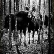 Gathering Of Moose Art Print