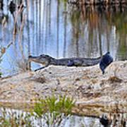 Gator On The Mound Art Print