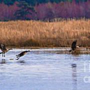 Geese Up And Away Art Print