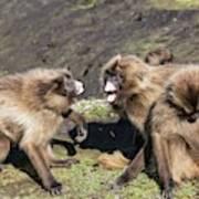 Gelada Baboons Threat Display Art Print