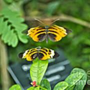 Gentle Butterfly Courtship 01 Art Print